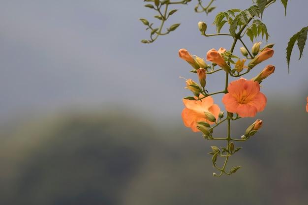 초여름에 아름다운 트럼펫 겉 꽃