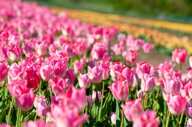 Beautiful tulip on blurred spring sunny. bright  tulip flower for spring or love concept.