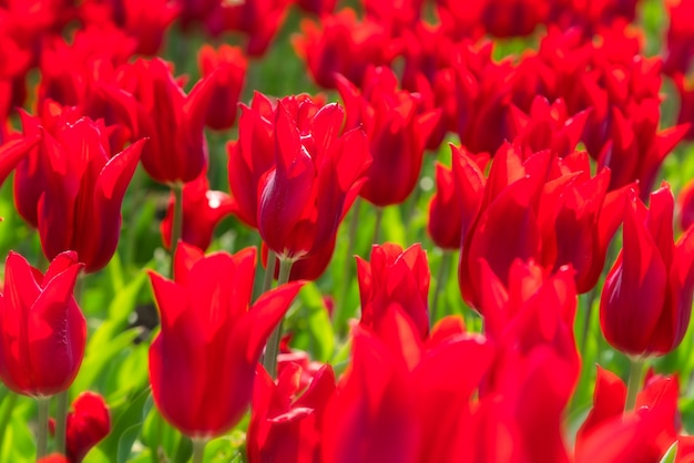 美しいチューリップ畑のプランテーション。植物園でのチューリップの商業栽培