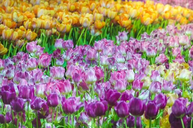 朝の日差しに提出された美しいチューリップの花