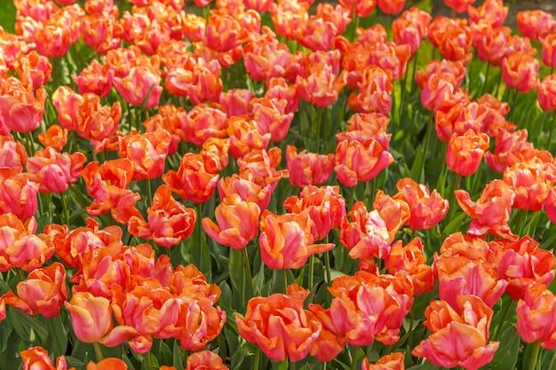 美しいチューリップの花の背景