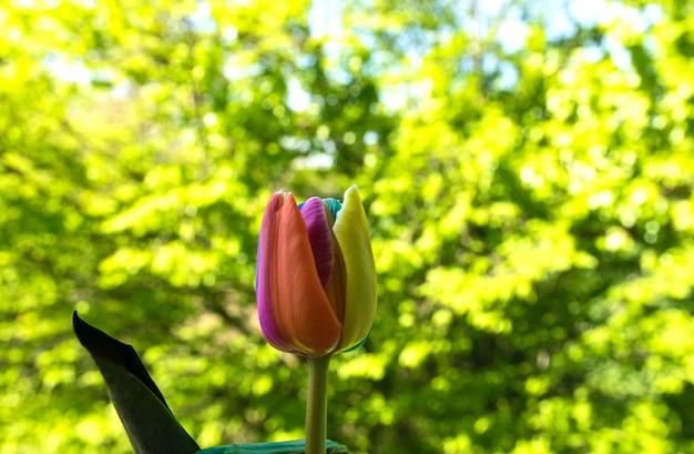 Красивый тюльпан в саду весной.
