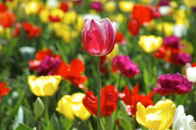 ぼかした花の背景を持つ美しいチューリップ