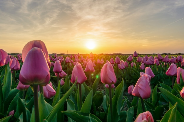 Beautiful tulips fields in the netherlands in spring under a sunrise sky, amsterdam, netherlands