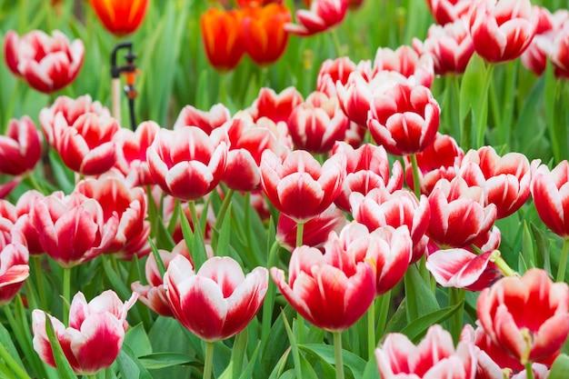 Beautiful of tulips in garden