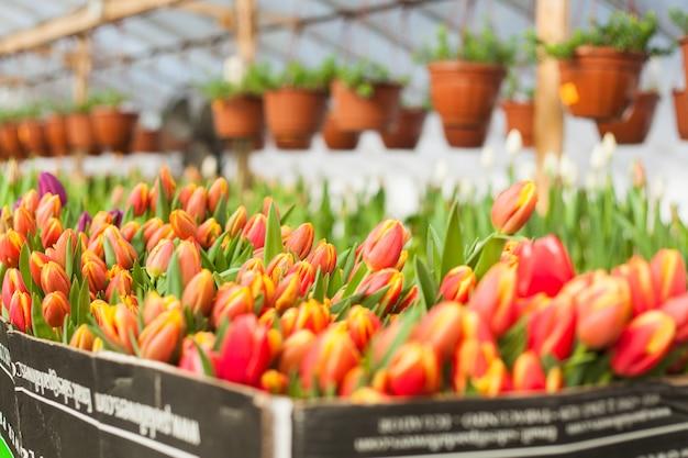 Beautiful tulips grown in a greenhouse