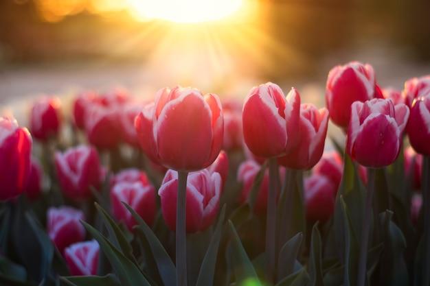 夕陽の表面に美しいチューリップ