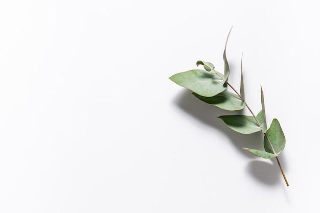 화이트에 신선한 향기로운 유칼립투스의 아름 다운 나뭇 가지