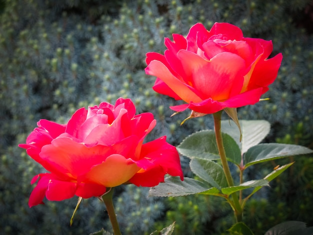 Beautiful two red roses in the garden on a sunny day ideal for background greeting cards