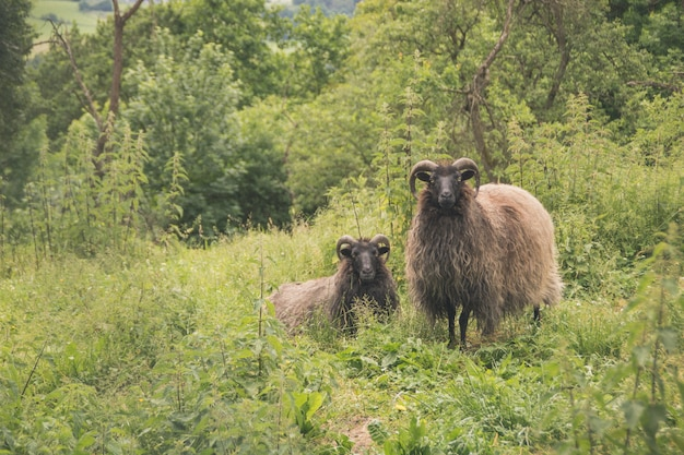 Beautiful two sheep with horns standing in a green field