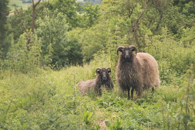 緑の野原に立っている角を持つ美しい2つの羊