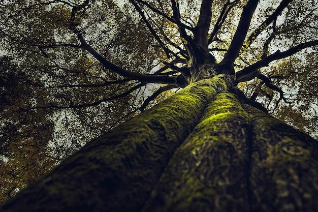 숲에서 자라는 키가 큰 두꺼운 오래된 나무의 아름다운 결과