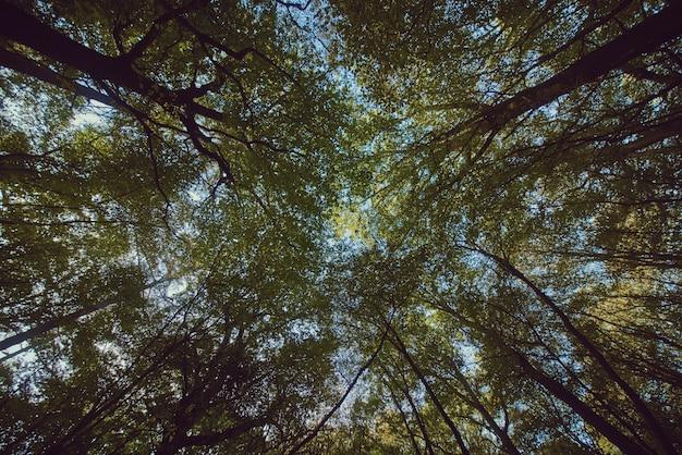 Красивый upshot высоких толстых деревьев в лесу с голубым небом на заднем плане
