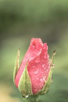 美しいバレンタインバラのつぼみ自然愛の背景、木の茂みの葉に美しいピンクのバラ。