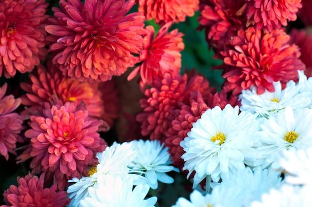 美しい斑入りの菊の花秋鮮やか