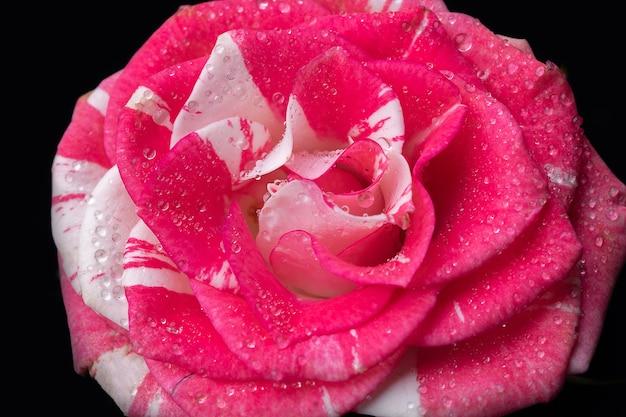 Красивые пестрые пурпурные розы цветок крупным планом.