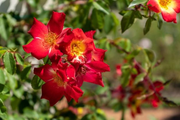 아르헨티나 부에노스 아이레스의 jardin rosedal de palermo에서 자란 아름다운 다양한 장미.