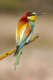 Beautiful vertical closeup shot of a colorful bee-eater