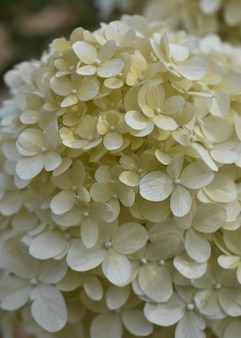 Beautiful vertical closeup view of white hydrangeas