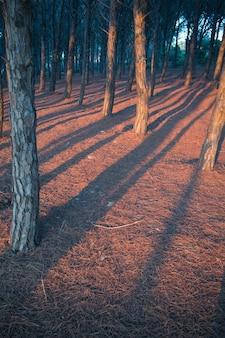 Bellissimo scatto verticale di file di alberi al tramonto