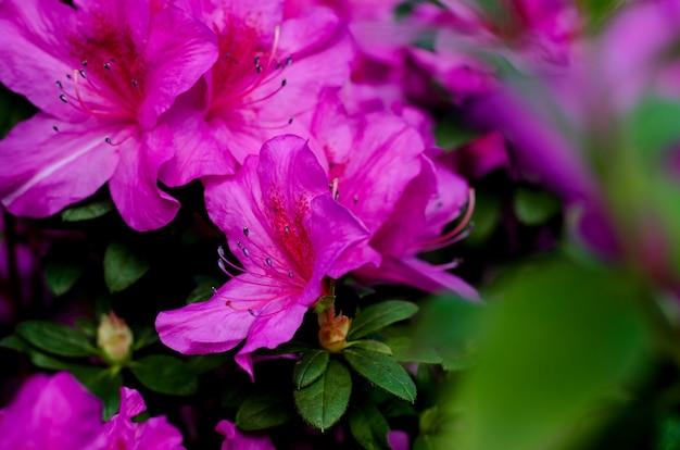 키예프의 식물원에 피는 아름다운 진달래 꽃 나무. 밝은 꽃을 닫습니다.