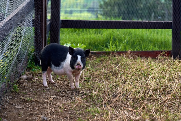 Beautiful view of an adorable black and white pig in a rural farm