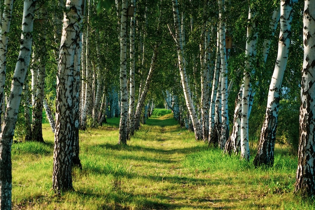 Beautiful view of the birch grove in summer.