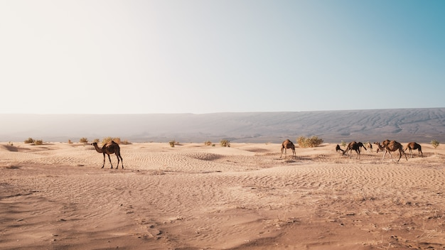 Beautiful view of camels on the desert captured at day light in morocco