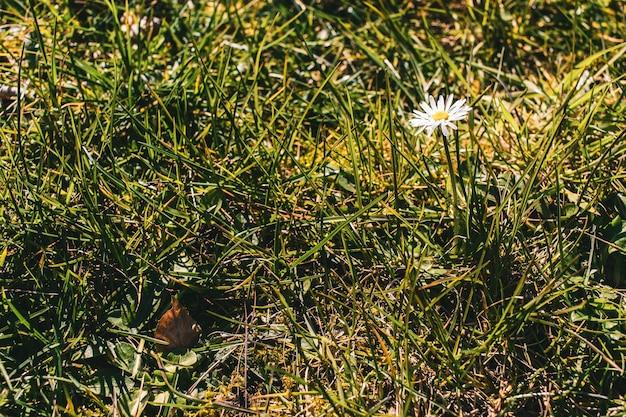 Bella vista di un fiore margherita nel campo in erba