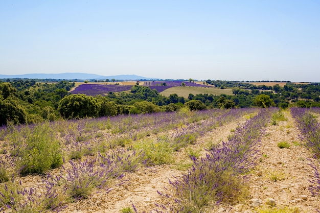 Beautiful view of the fields of lavender valensole, provence, france
