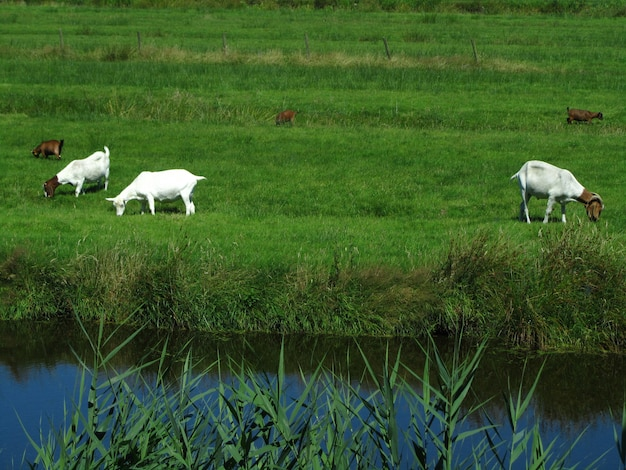 Beautiful view of five farm goats grazing on grass in a field next to a canal in netherlands