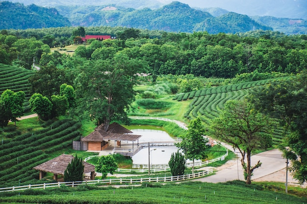 Beautiful view of fresh green tea farm,  green nature field of choui fong tea plantation, mae chan, chiang rai, thailand