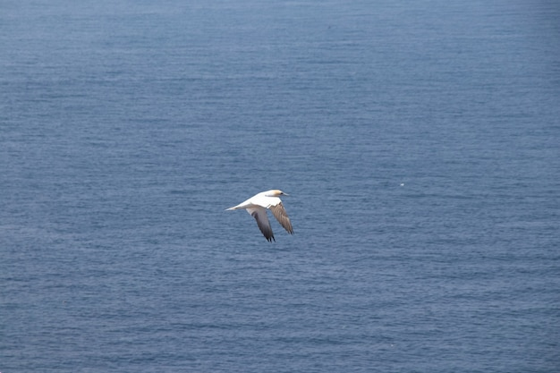 Beautiful view of a northern gannet flying over the water on island helgoland