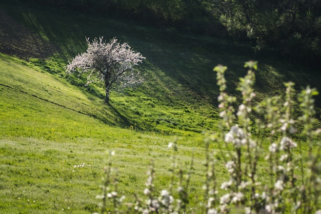 Прекрасный вид на цветущее дерево в открытом поле рядом с холмом, снятый в солнечный день