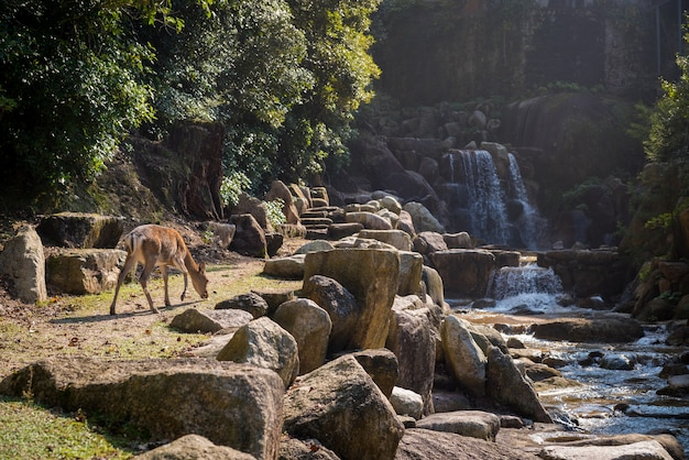 日本の宮島で捕獲された滝と石のそばの鹿の美しい景色