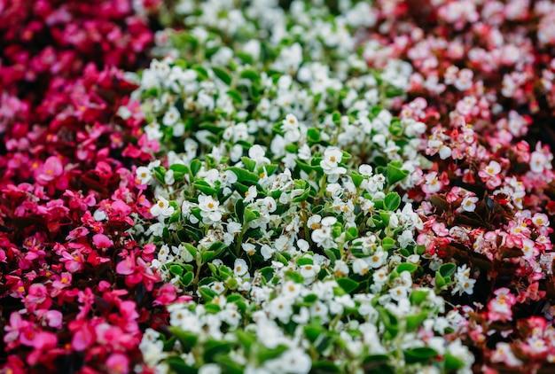 Прекрасный вид на клумбу с цветущими рядами красных и белых цветочков.