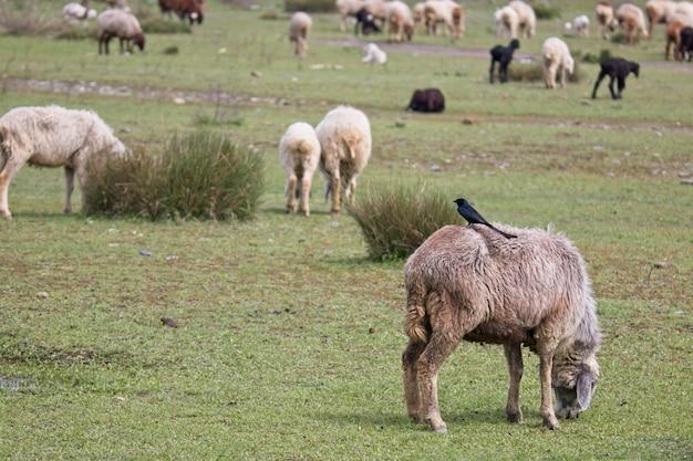 草で覆われた野原で放牧している羊の群れの美しい景色