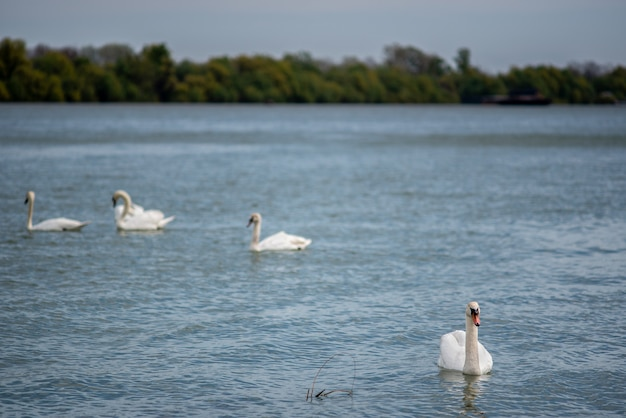 공원의 호수에서 수영하는 백조의 아름다운 전망