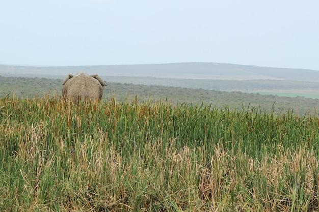 뒤에서 캡처 한 긴 잔디로 덮여 언덕에 서있는 코끼리의 아름 다운보기