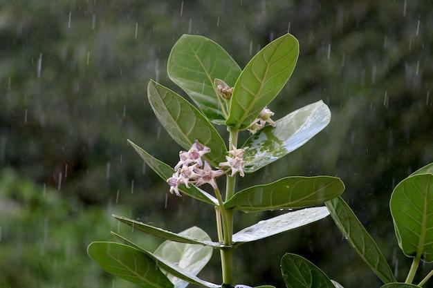 カロトロピスギガンテアの花の美しい景色。王冠の花。