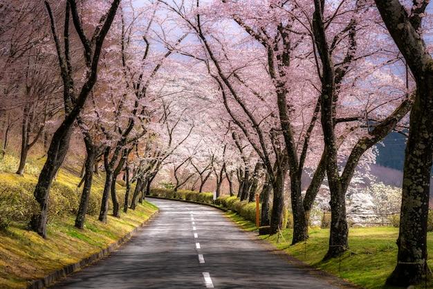 日本の静岡県の県道の両側に沿って4月の春の桜のトンネルの美しい景色。