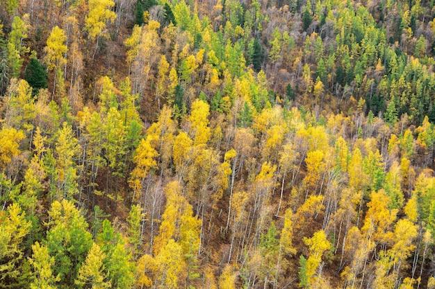 Прекрасный вид на красочный смешанный лес из березовых еловых кедров на горных склонах на алтае