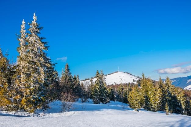 冬の雪の吹きだまりの丘に生えている雄大な緑のトウヒの木の美しい景色