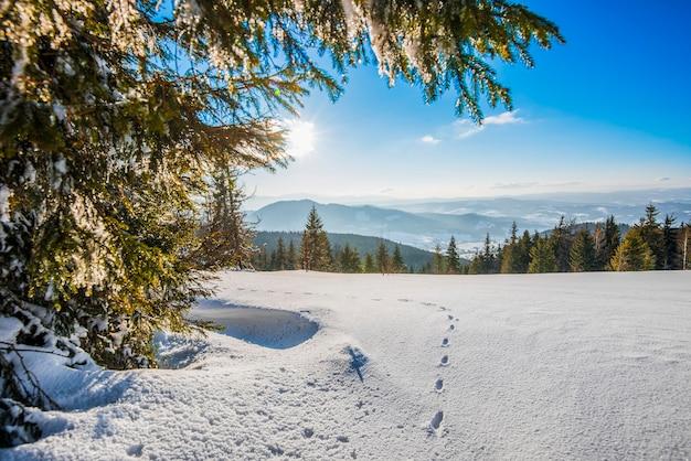 Прекрасный вид на величественные зеленые ели, растущие на холме зимой