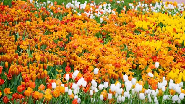 オレンジ色のチューリップの美しい景色。チューリップの花の牧草地。チューリップのクローズアップ