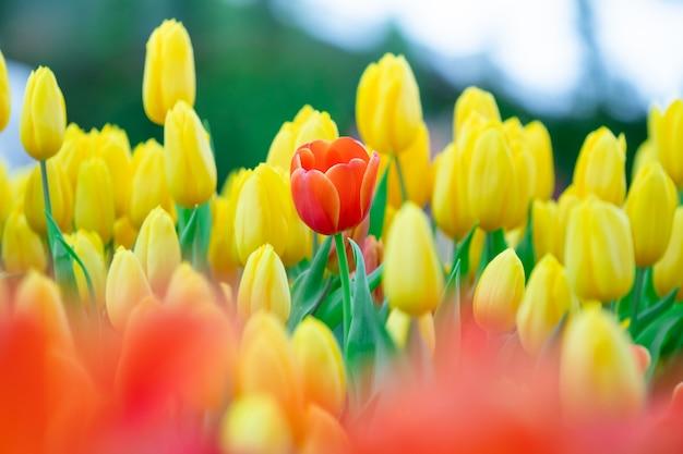 オレンジ色のチューリップの美しい景色。チューリップの花の牧草地。チューリップの庭。色とりどりのチューリップのグループ。