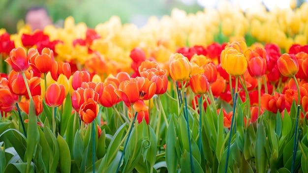 オレンジ色のチューリップの美しい景色。チューリップの花の牧草地。