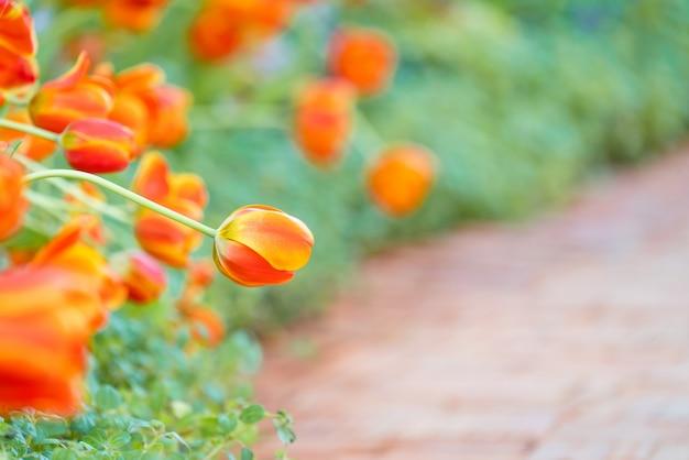 オレンジ色のチューリップの美しい景色。