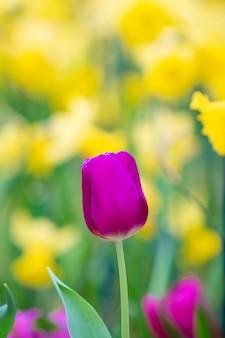 紫チューリップの美しい景色。チューリップの花の牧草地。チューリップガーデン。色とりどりのチューリップのグループ。