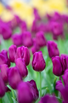 紫チューリップの美しい景色。チューリップの花の牧草地。チューリップの庭